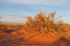 Red sand desert with bush in sunset light Royalty Free Stock Photo