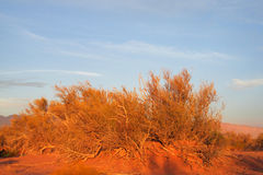 Red sand desert with bush in sunset light Stock Photography