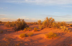Red sand desert with bushes in sunset light Stock Image