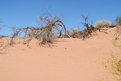 Red sand desert with dead bush. Red sand desert with dry deadand green bush in sunset light, clear blue sky with some clouds. Beautiful scenery, landscape of red Stock Image