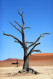 Red sand dune, Dead Vlei, Namibia Royalty Free Stock Photos
