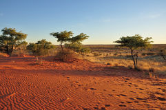 Red sands and bush at sunset, kalahari. Bush, yellow grass and red sand on dunes in namibian desert, at sunset Stock Images