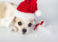Red Santa hat on Chihuahua dog head Stock Image