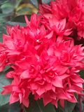 Red santan flower royalty free stock images