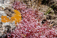 Red Saxifrage (Saxifraga) in Sardinia. Italy stock image
