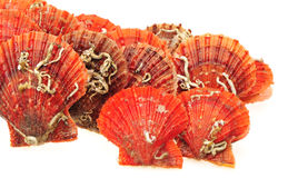 Red scallops Royalty Free Stock Image