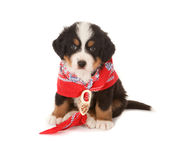 Red scarf puppy Royalty Free Stock Photo
