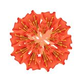Red Scarlet Flame Bean or Brownea Ariza Flower Royalty Free Stock Photo