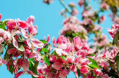 Red scarlet flowers of apple trees against the blue sky. Stock Photography