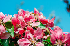 Red scarlet flowers of apple trees against the blue sky. Stock Photo