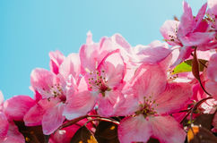 Red scarlet flowers of apple trees against the blue sky. Royalty Free Stock Photo