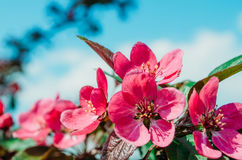Red scarlet flowers of apple trees against the blue sky. Royalty Free Stock Images