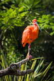 Red Scarlet Ibis royalty free stock photo