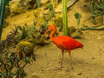 Red scarlet ibis walking in a desert, colorful and tropical bird from america and the caribbean, popular pet in aviculture. A red scarlet ibis walking in a royalty free stock image