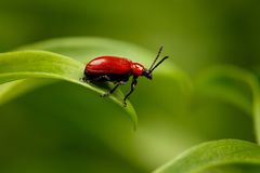 Red Scarlet lily Beetle on Plant Stock Photos