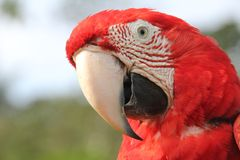 Red Scarlet Macaw close-up Stock Images