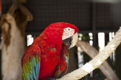 Red Scarlet Macaw Portrait Royalty Free Stock Photo