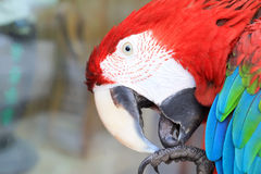 Red scarlet macaw in a zoo Royalty Free Stock Images