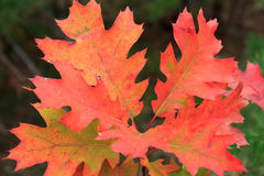 Red scarlet oak leaves. On a branch. The end of the fall season Royalty Free Stock Image