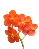 Red Scarlet Orchid Stock Photography