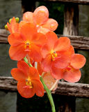 Red Scarlet Orchid Stock Photos