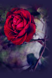 Red scarlet single rose and bokeh effects Stock Images