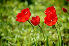 Red scarlet tulips in field, soft focus Royalty Free Stock Image