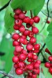 Red schisandra Royalty Free Stock Photos