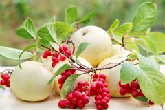 Red schisandra and white apples. Still life with ripe schizandra and apples Stock Photography