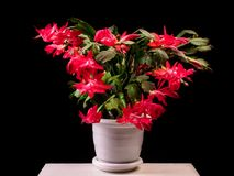 Red Schlumbergera truncata flowers in flowerpot, Christmas and T royalty free stock image