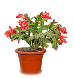 Red Schlumbergera truncata flowers in flowerpot. Christmas and Thanksgiving cactus, Craciunel stock photo