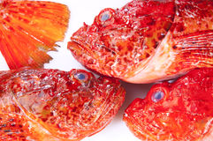 Red Scorpinfish. Red Scorpionfish placed on a white background Stock Image