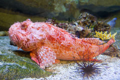 Red scorpion fish Royalty Free Stock Image