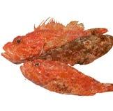 RED SCORPION FISH, Skorfna, Scorpaena scrofa. RED SCORPION FISH, Skorfna, Scorpaena scruff , fresh fish Stock Photos