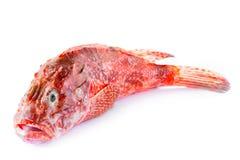 Red Scorpionfish Stock Photos