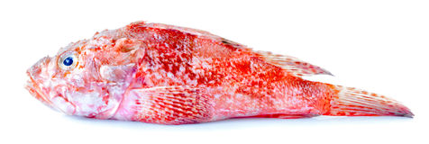 Red Scorpionfish Isolated Royalty Free Stock Photo