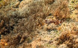 Red Scorpionfish, Mediterranean Sea Royalty Free Stock Photos