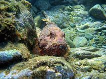 Red scorpionfish Scorpaena scrofa underwater Royalty Free Stock Photos