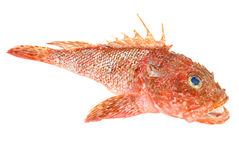 Red Scorpionfish seafood isolated on white Stock Image