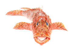 Red Scorpionfish seafood isolated on white. Front Stock Photos