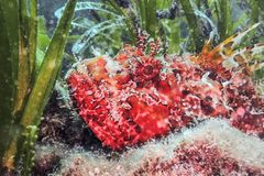 Red Scorpionfish Underwater Scorpaena scrofa Close Up. Underwater Wildlife royalty free stock images