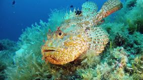 Red scorpionfish wants to hide from the camera - Mediterranean sea marine life. Underwater scene of the Mediterranean sea marine life - Scuba  diving in Majorca stock video
