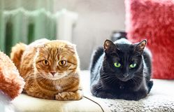 Red scotish fold cat and black cat lying on sofa.  Royalty Free Stock Image