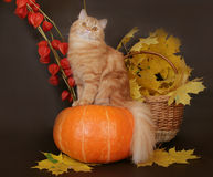 Red Scottish cat on a pumpkin. Red Scottish cat on tykves autumn leaves stock images