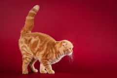 Red scottish fold Royalty Free Stock Photo