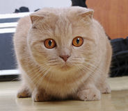 Red scottish fold. Cat sitting on the floor Royalty Free Stock Photography