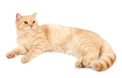 Red Scottish fold cat. Portrait of a Red Scottish fold cat on a white background. Studio shot Royalty Free Stock Photos
