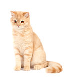 Red Scottish fold cat Royalty Free Stock Image
