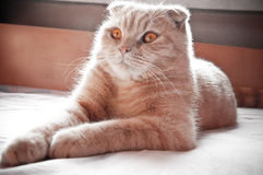 Red scottish fold cat. With honey eyes Stock Photography