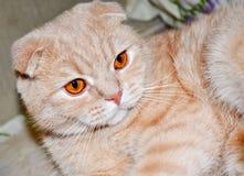 Red scottish fold cat. With honey eyes Royalty Free Stock Photo